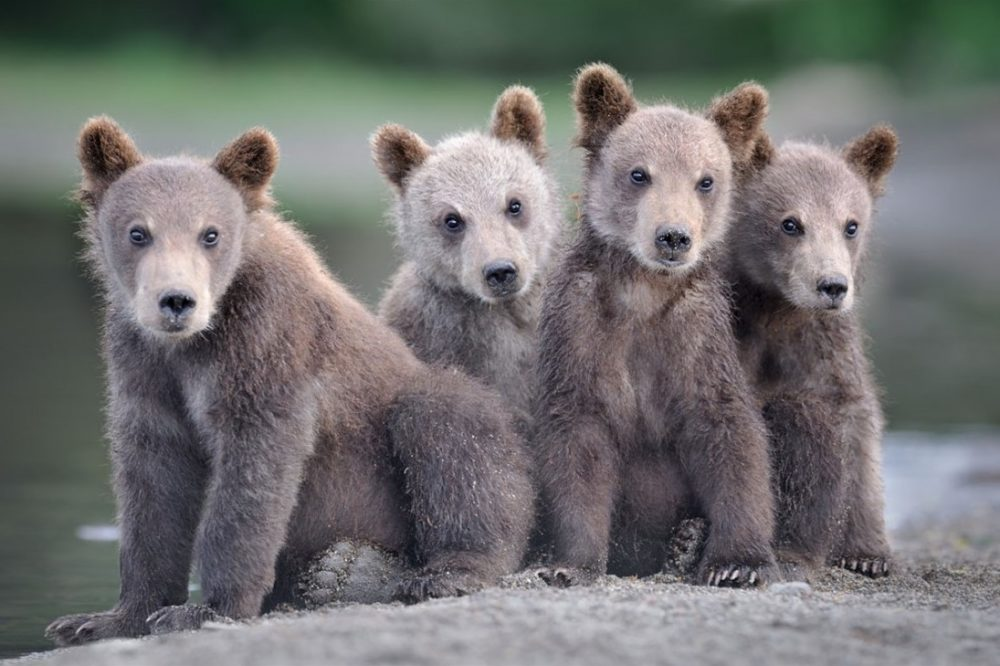 Начало апреля выдалось «медвежьим»